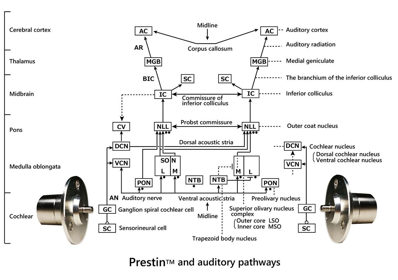 プレスチンと聴覚経路の図